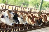 Krmení krávy — Stock fotografie