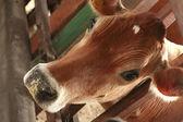 Cow feeding — Stock Photo