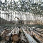 Eucalyptus — Stock Photo #40965337