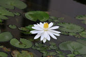 Lotus flower — Foto Stock