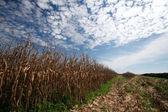Plantation de maïs — Photo