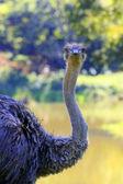 Ostrich — Stock Photo