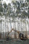 Eucalyptus — Stock Photo