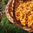 Chanterelle mushrooms in a basket partial — Stock Photo