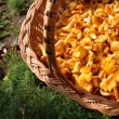 Stock Photo: Chanterelle mushrooms in basket partial