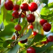 Branch of ripe berries cherries — Stock Photo