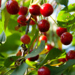 Stock Photo: Branch of ripe berries cherries