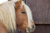Haflinger pony waits anxious by a barn door — Stock Photo