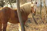 Cute Haflinger horse wandering through the woods — Stock Photo