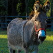 Shy donkey stands in an open field — Stock Photo #23801795