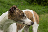 Greyhound Dog — Stock Photo