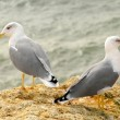 Seagulls in Algarve - 图库照片