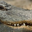 Stock Photo: Aligator Jaw