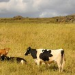Stock Photo: Bovine herd
