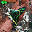 Urania leilus butterfly - Stock Photo