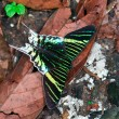 Stock Photo: Uranileilus butterfly