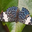 Stock Photo: Hamadryas amphinome butterfly