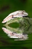 アマガエル geographica 少年 — ストック写真