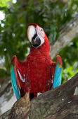 Red and green macaw — Stock Photo