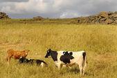 Bovine herd — Stock Photo