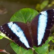 Stock Photo: Morpho achilles butterfly