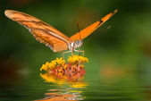 Dryas julia butterfly — Stock Photo