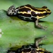 Poison frog - Stock Photo