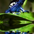 Poison dart frog — Stock Photo #23432090