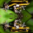 Poison dart frog - Stock Photo