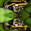 Poison dart frog — Stock Photo #23443962