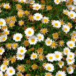 Daisy wallpaper - Stock Photo