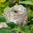 Iguana close-up - Stock Photo