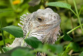 Iguana close-up — Stock Photo