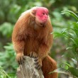Red Uakari monkey — Stock Photo