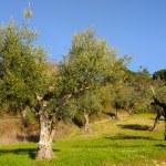 Olive Trees — Stock Photo #23576699