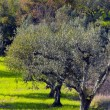 Olive Trees — Stock Photo #23576777