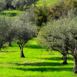 Olive Trees — Stock Photo #23576779