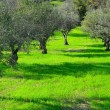 Olive Trees — Stock Photo #23576803