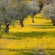 Stock Photo: Olive Trees