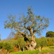 Olive Trees — Stock Photo #23576909