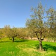 Olive Trees — Stock Photo #23576923