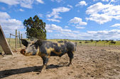 Farm pig — Stock Photo