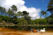 Pato blanco en el lago — Foto de Stock