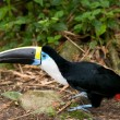 Ramphastos toucan - Photo
