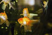 水槽で金魚 — ストック写真