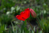 Red tulip with dew drops — Stock Photo
