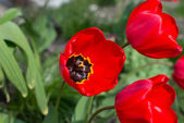 Red tulips with bumblebee — Foto de Stock