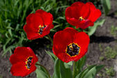 Four red tulips with dew drops — Stock Photo