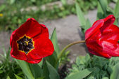 Two red tulip with dew drops — Foto de Stock