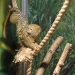 Pygmy marmoset — Stock Photo
